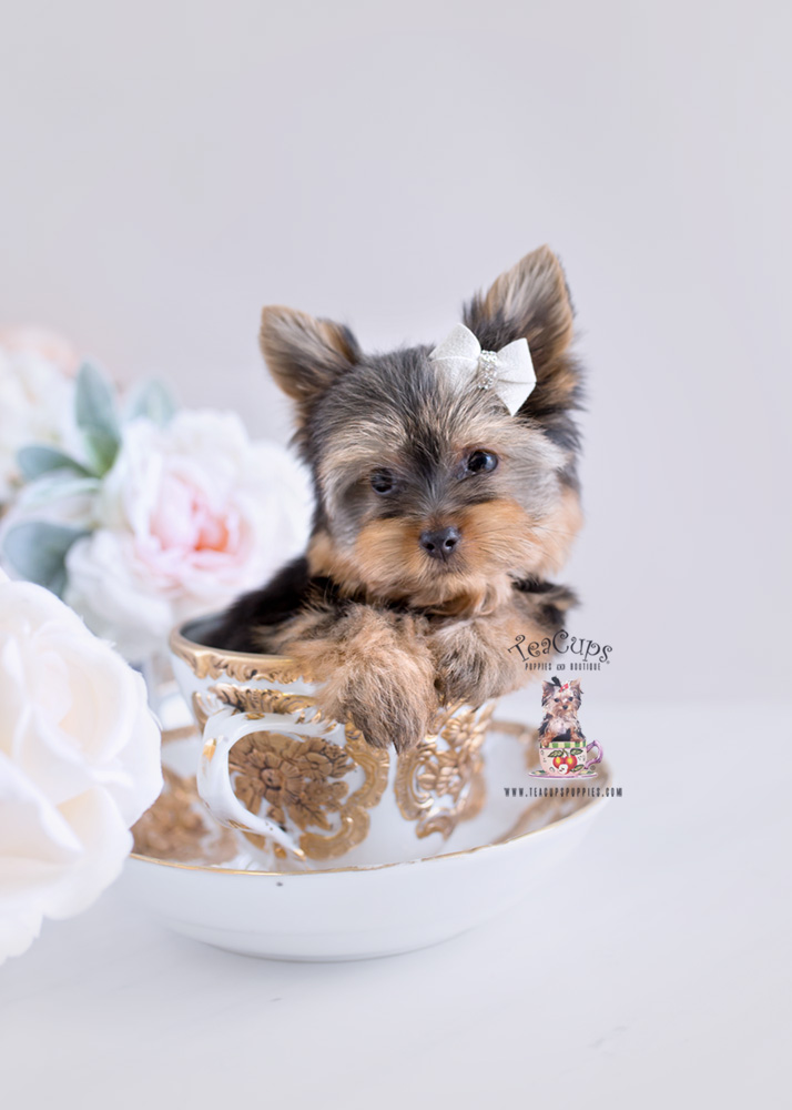 Puppies #173 Yorkie Puppy For Sale Teacup
