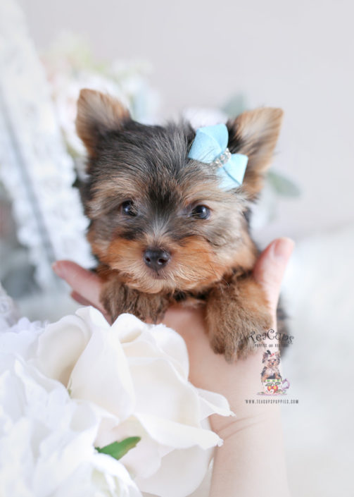 Puppy For Sale Teacup Puppies #174 Yorkie