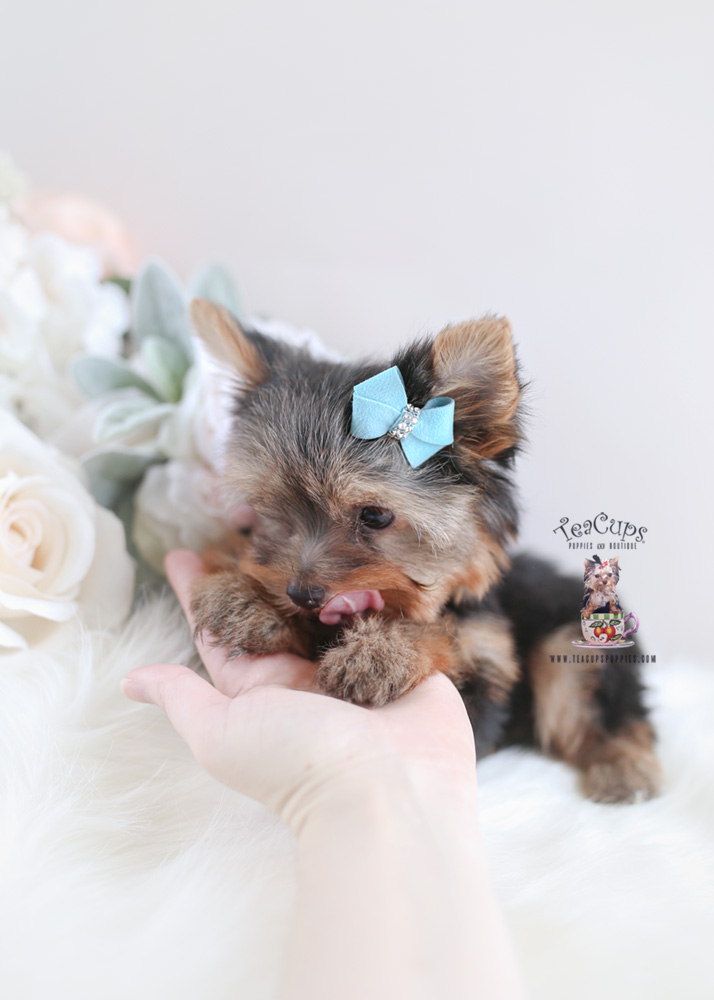 Yorkie Puppy For Sale Teacup Puppies #174
