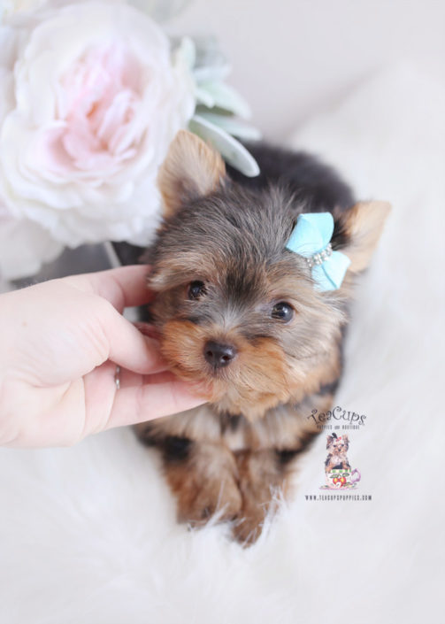 For Sale Teacup Puppies #174 Yorkie Puppy