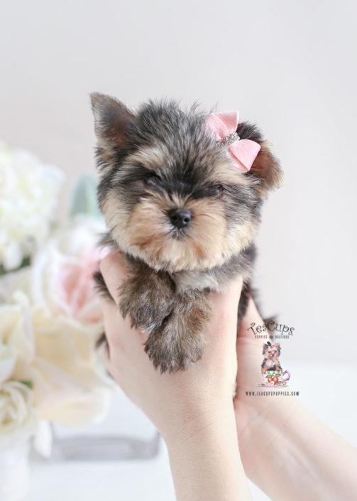 Yorkie Puppy For Sale Teacup Puppies #196