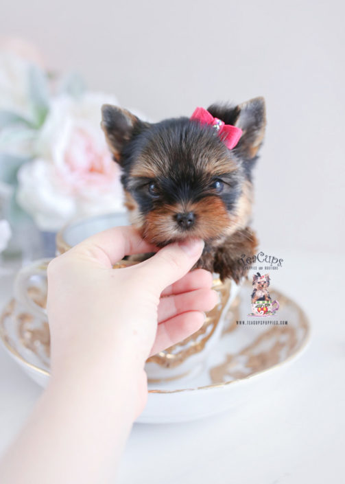 Puppies #197 Yorkie Puppy For Sale Teacup