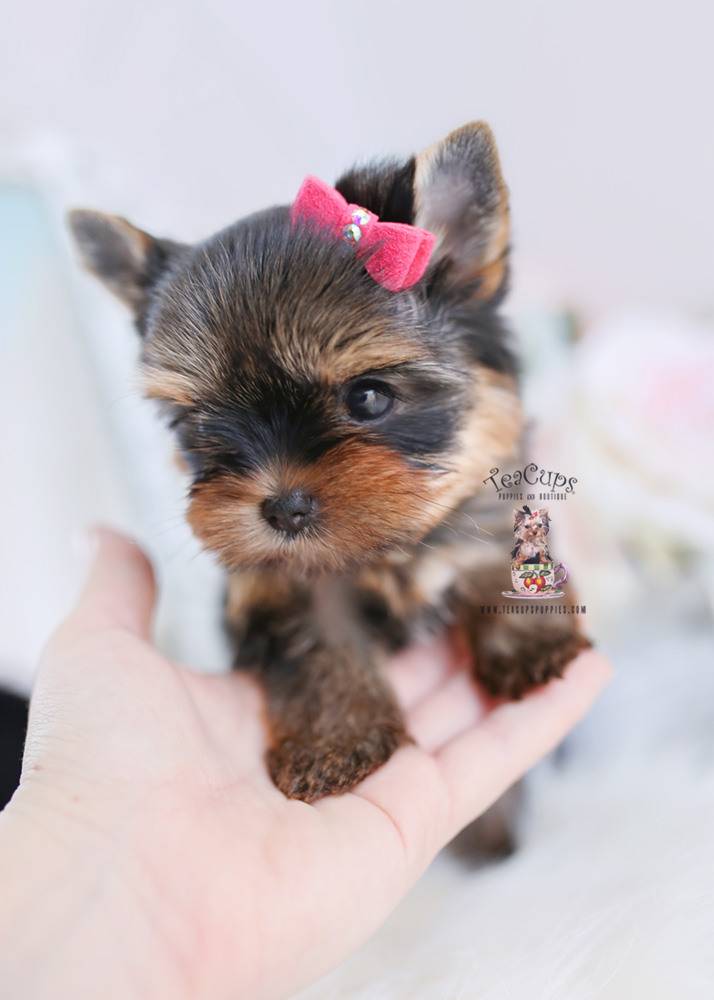 Teacup Puppies #197 Yorkie Puppy for sale