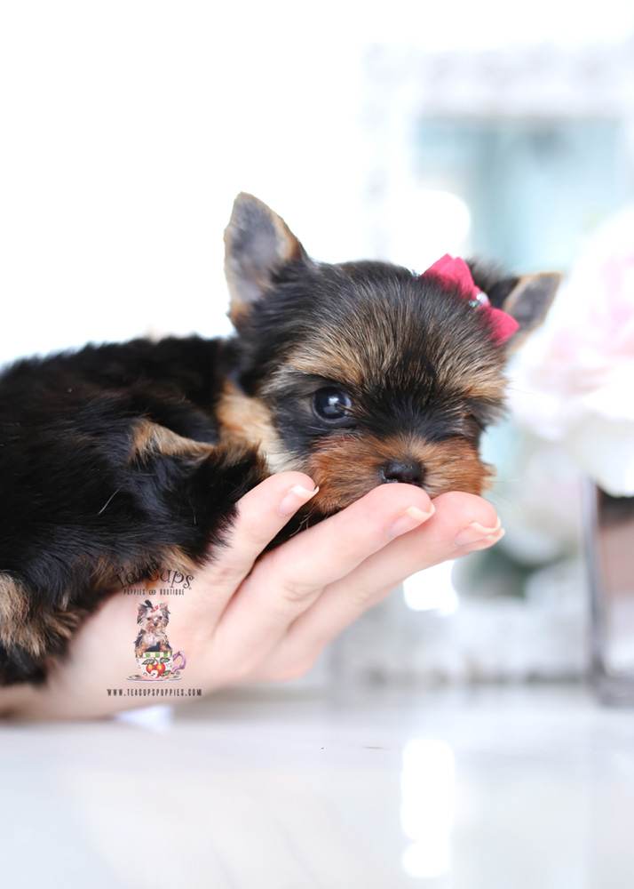 Puppy for sale Teacup Puppies #197 Yorkie