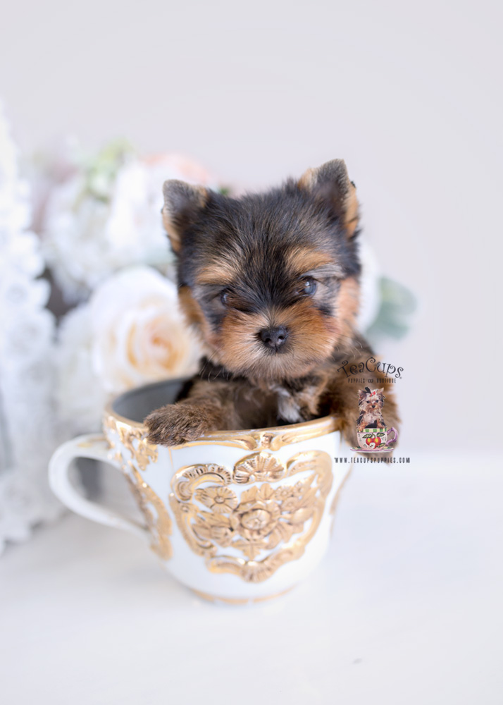 Puppies #198 Yorkie Puppy for sale Teacup