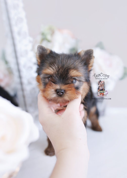Teacup Puppies #198 Yorkie Puppy for sale