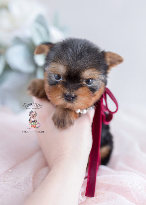 Teacup Puppies #200 Yorkie Puppy For Sale