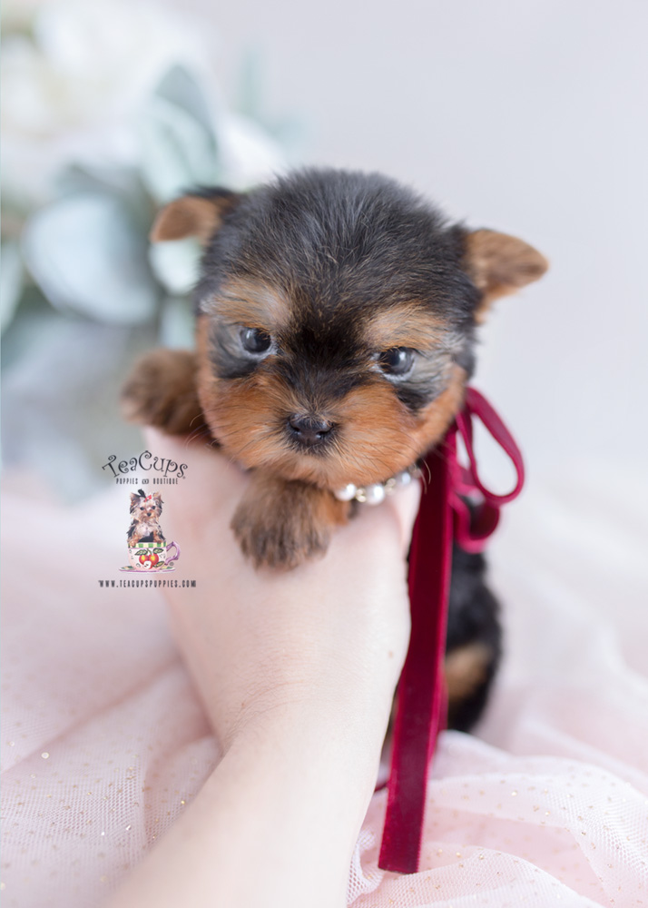Summary -> Teacup Puppies For Sale Ny Westchester Ny Amp Ct