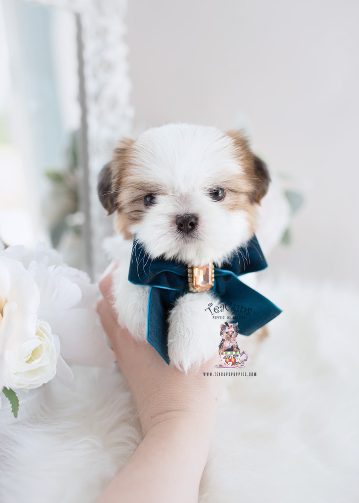 shih tzu puppies for sale in florida biewer yorkie breeder florida teacups puppies boutique 859