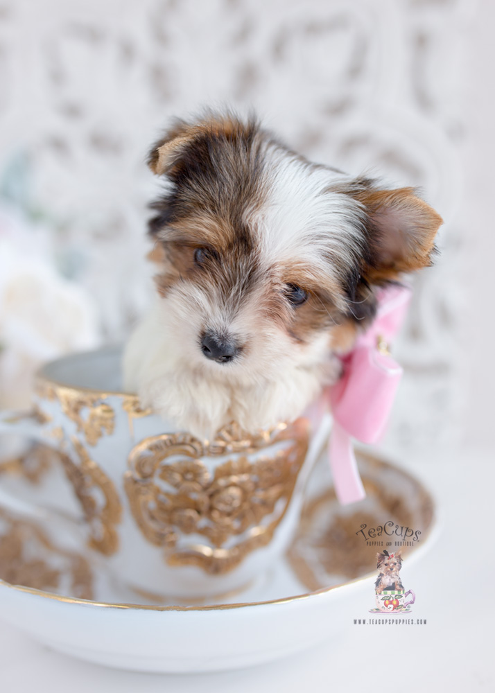 Biewer Yorkie Puppies For Sale Teacups Puppies Amp Boutique