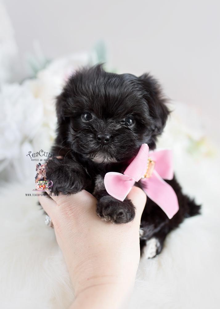 Designer Breed Maltipoo Puppy Teacups Puppies Amp Boutique