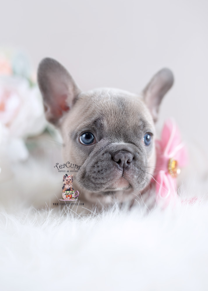 french bulldog breeder florida cute teacup yorkshire quot yorkie quot terrier puppies for sale 4947