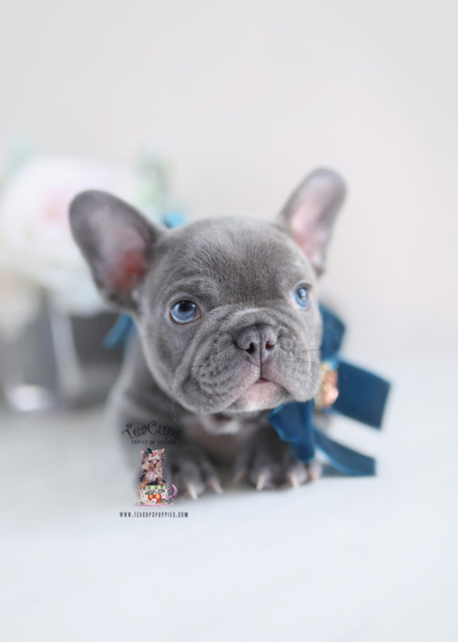 French Bulldog Puppies For Sale By Teacups Puppies Boutique
