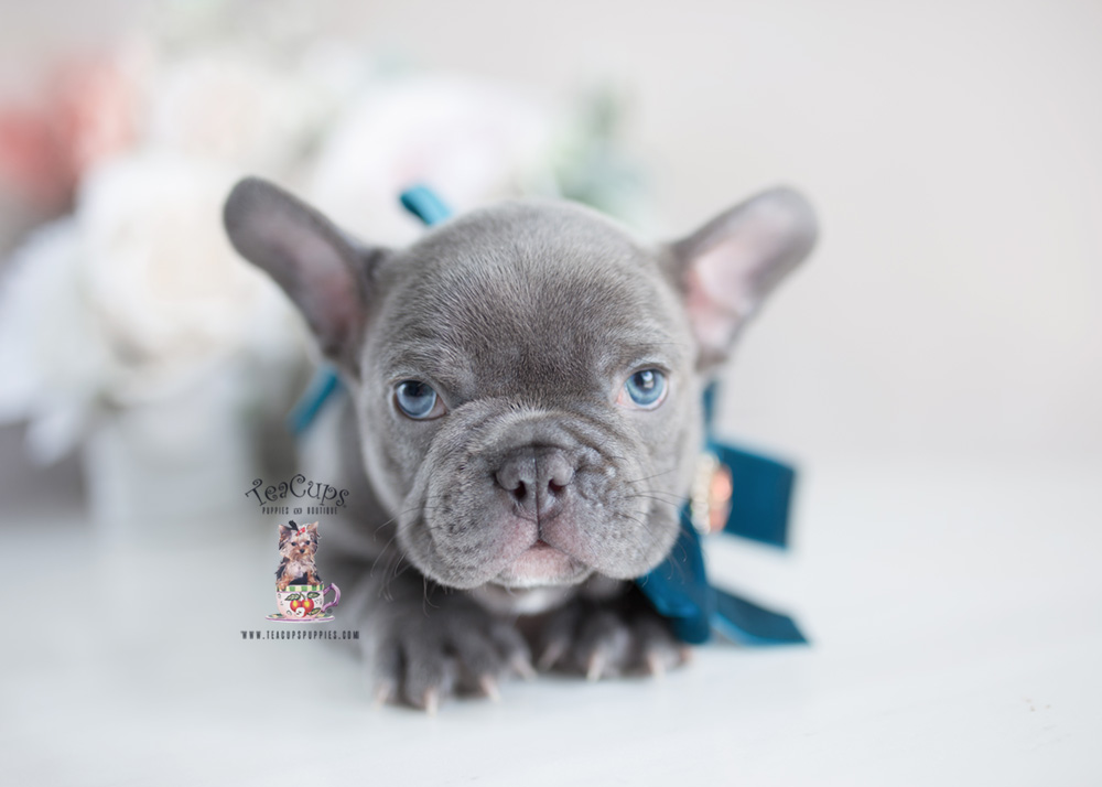 french bulldog breeders florida blue french bulldog 229 teacups puppies boutique 7344