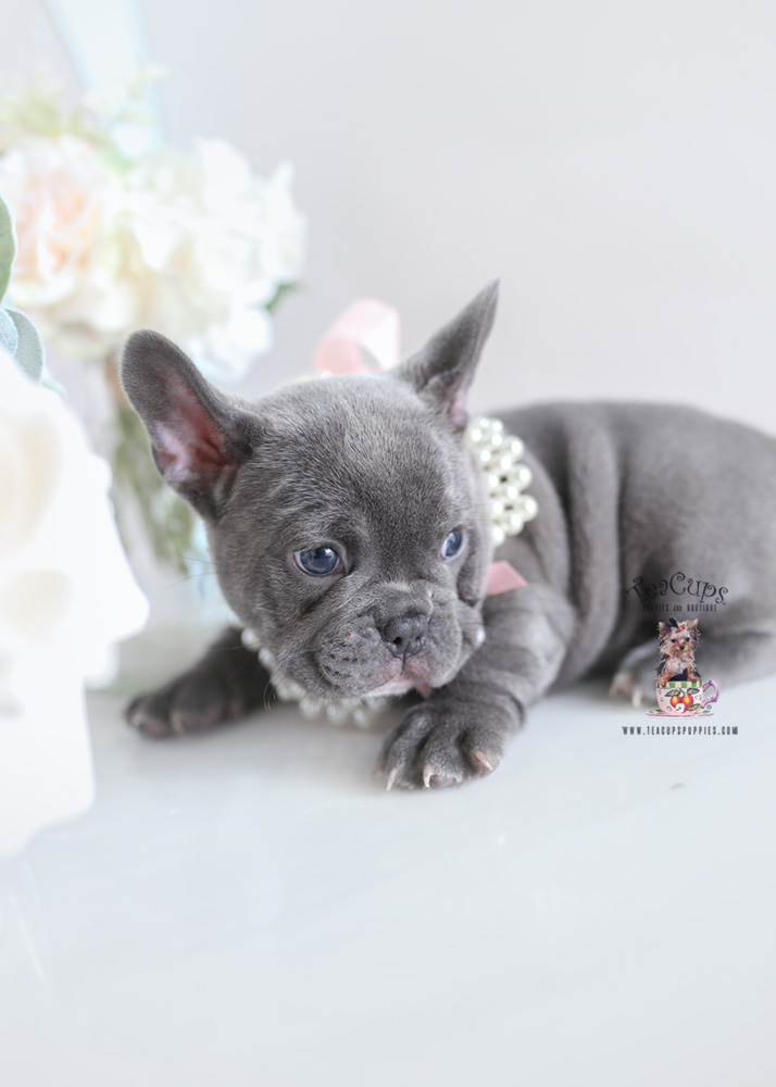 Blue Frenchie Breeder South FL | Teacups, Puppies & Boutique