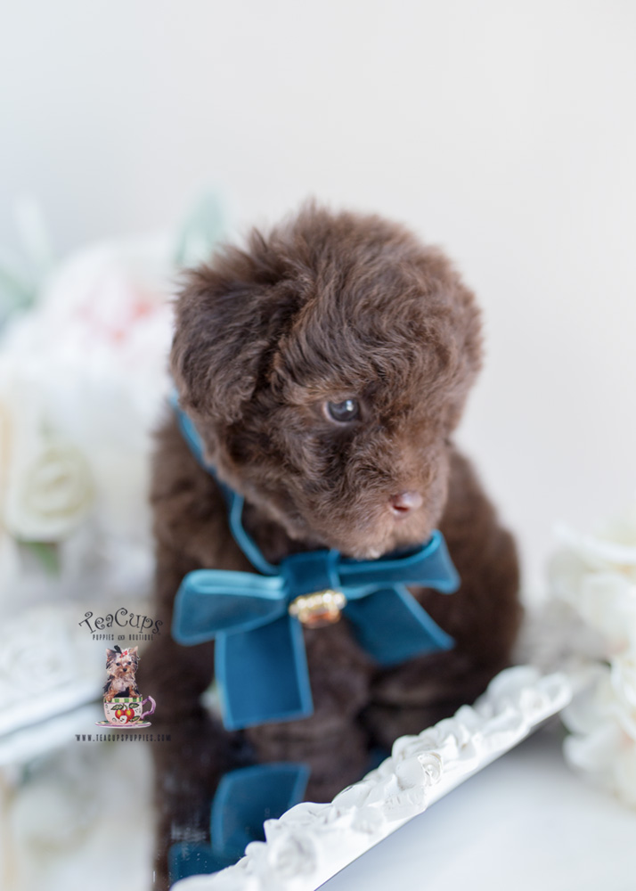 Chocolate Poodle Breeder Fl Teacups Puppies Amp Boutique
