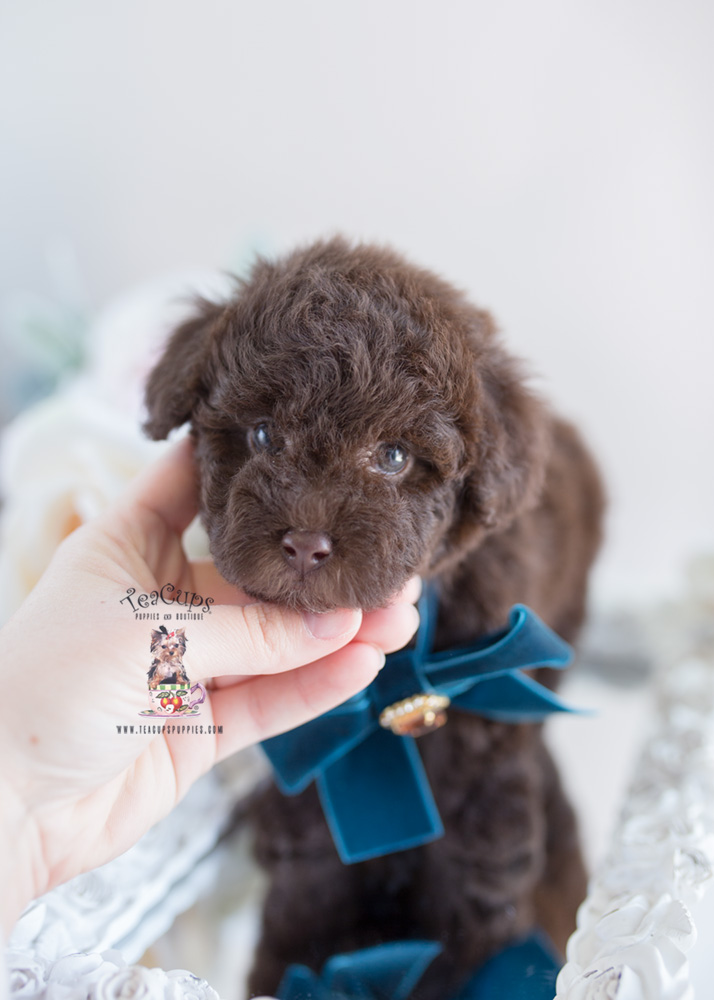 Chocolate Poodle Breeder Fl Teacup