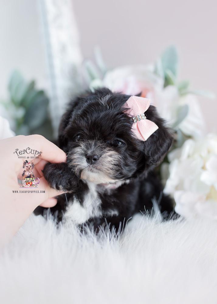 Maltipoo Puppies Davie Teacups Puppies Amp Boutique