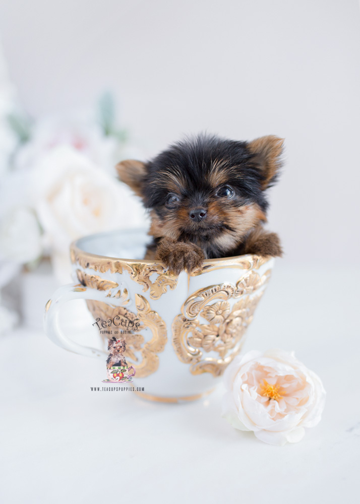 Teacup Yorkie Puppies Florida Teacups Puppies Boutique