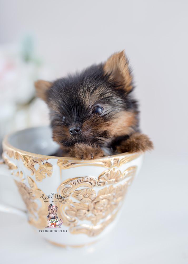 Micro Teacup Yorkie Breeder Teacups Puppies Amp Boutique