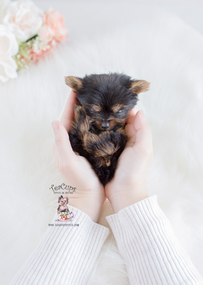 Teacup Yorkie Puppies Florida | Teacups, Puppies & Boutique