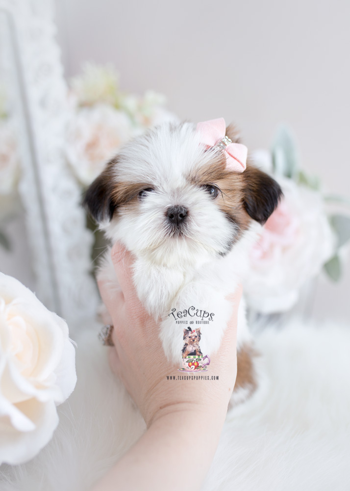 teacup shih tzu adults shih tzu puppies by teacups teacups puppies boutique 4805