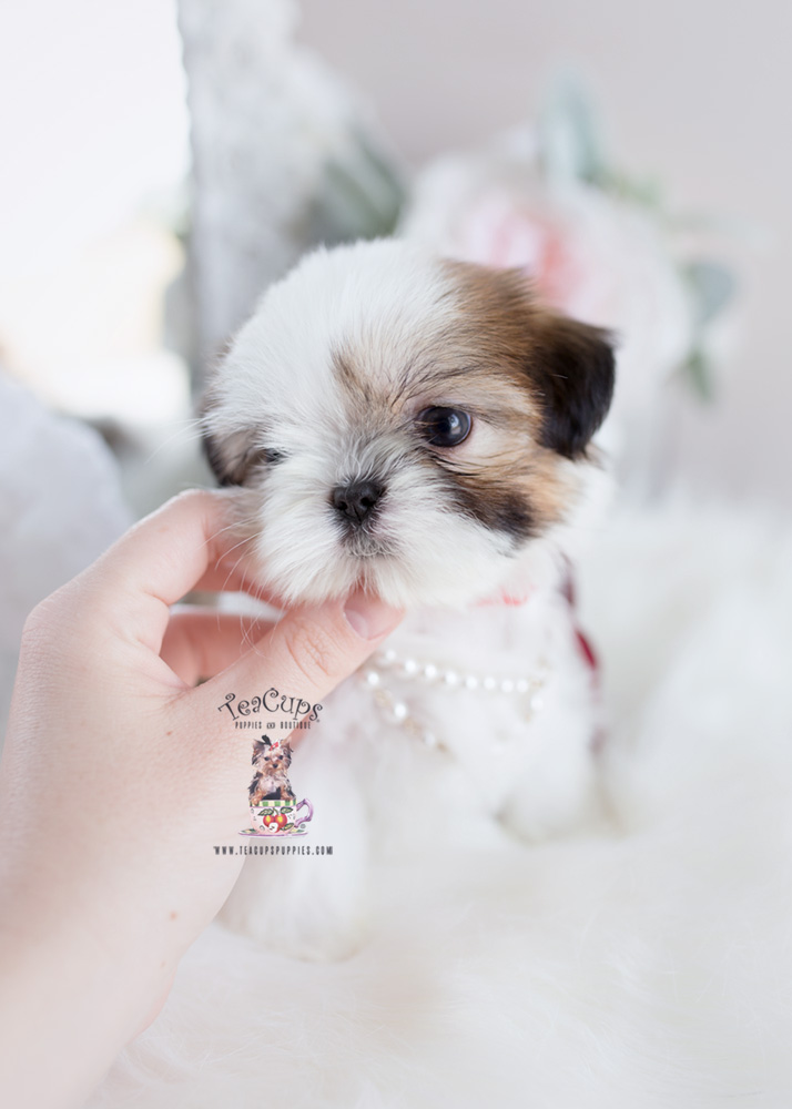 Little Shih Tzu Puppies For Sale Teacups Puppies Amp Boutique