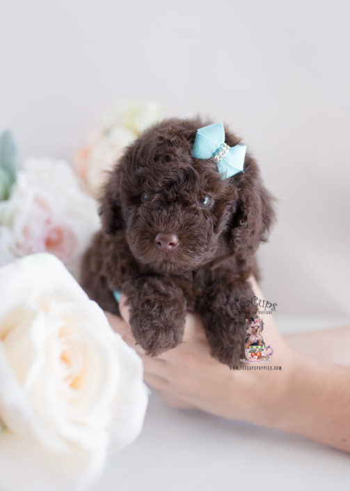 teacup and toy poodle puppies teacups puppies boutique