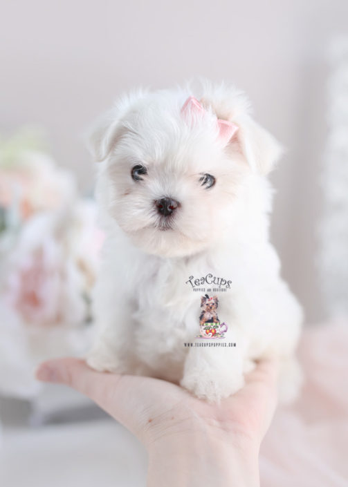 maltese teacup for sale teacup and toy maltese puppies teacups puppies boutique 3929