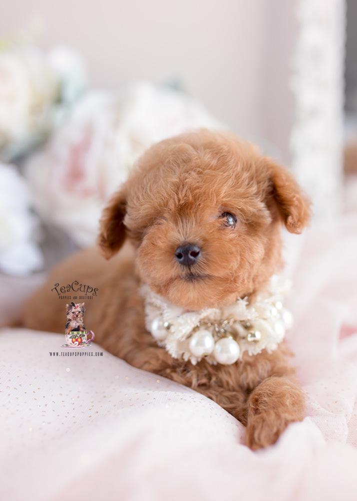 Boutique Teacup Puppies - Boutique Teacup Puppies ...