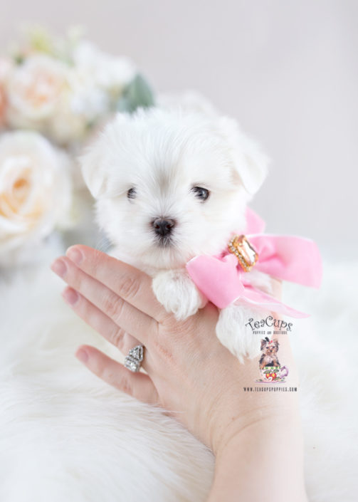 white teacup maltese teacup and toy maltese puppies teacups puppies boutique 7853