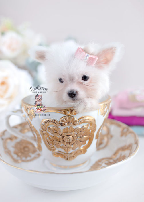 white yorkie puppy for sale toy or teacup yorkies for sale teacups puppies boutique 4959