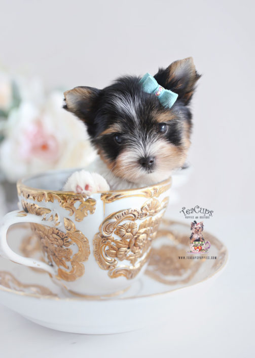 Teacup Biewer Yorkie Goldenacresdogs