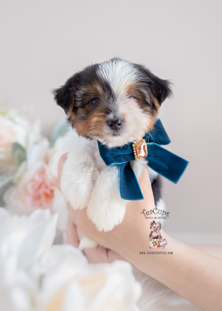 teacup yorkie for sale craigslist biewer yorkie puppies for sale florida teacups puppies 3291