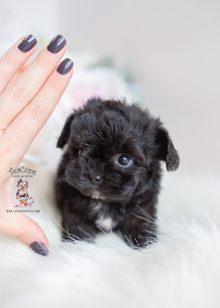 Teacup And Toy Maltipoo Puppies