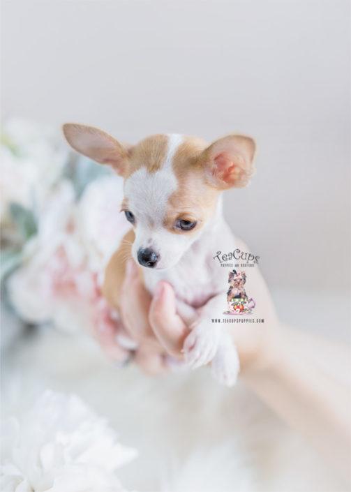 Chihuahua Puppy 312