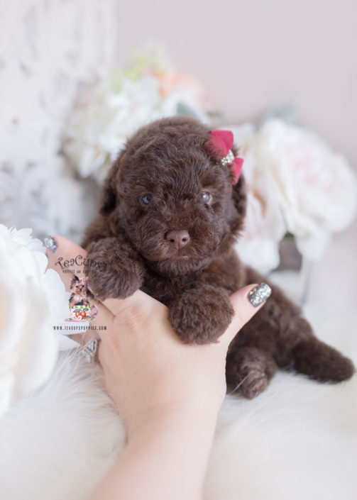 Pictures Of A Teacup Poodle Goldenacresdogscom