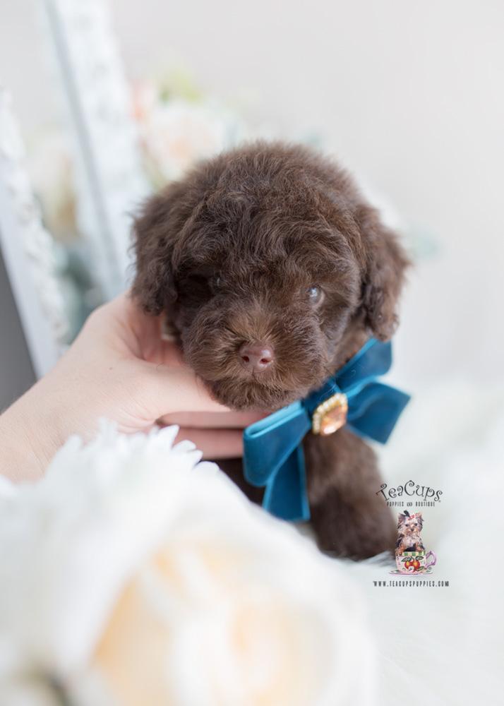 Chocolate Poodles For Sale Teacups Puppies Boutique