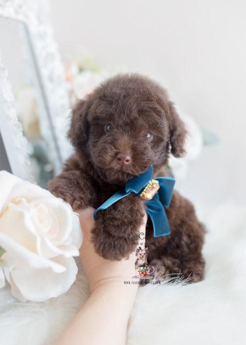 Toy Poodle Teacup Goldenacresdogscom