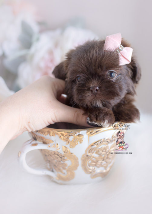 Get Inspired For Teacup Shih Tzus
