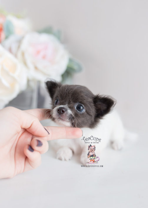 Long Haired Teacup Chihuahua Puppies - Goldenacresdogs com