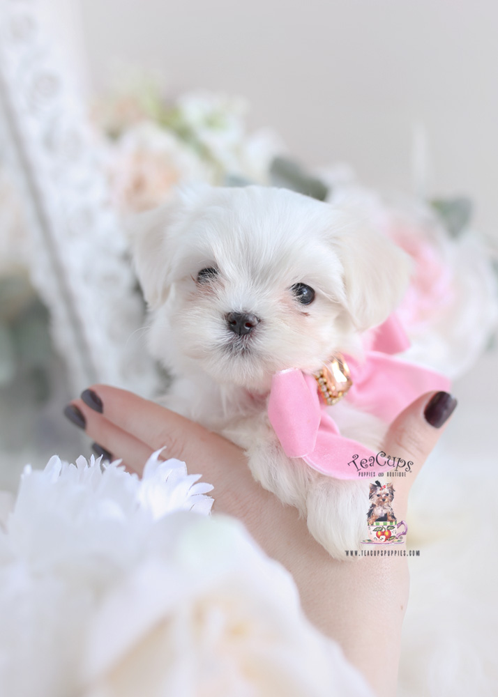 Teacup Maltese Breeder | Teacups, Puppies & Boutique