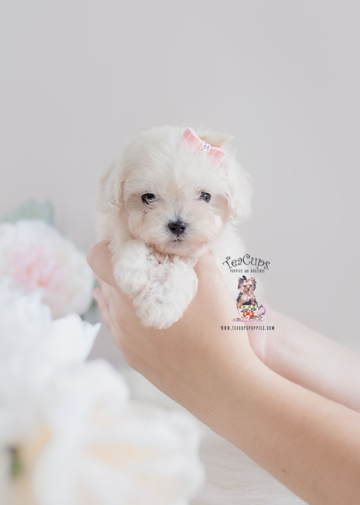 Teacup Maltipoo Puppies - Goldenacresdogs com