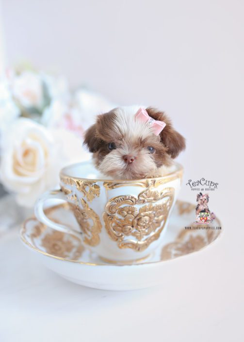 Imperial Shih Tzu Puppies For Sale By Teacups Puppies Boutique