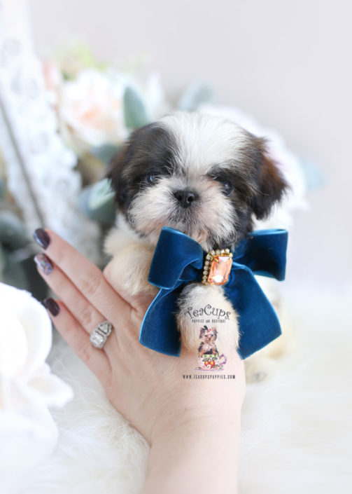 Imperial Shih Tzu Puppies For Sale by TeaCups, Puppies
