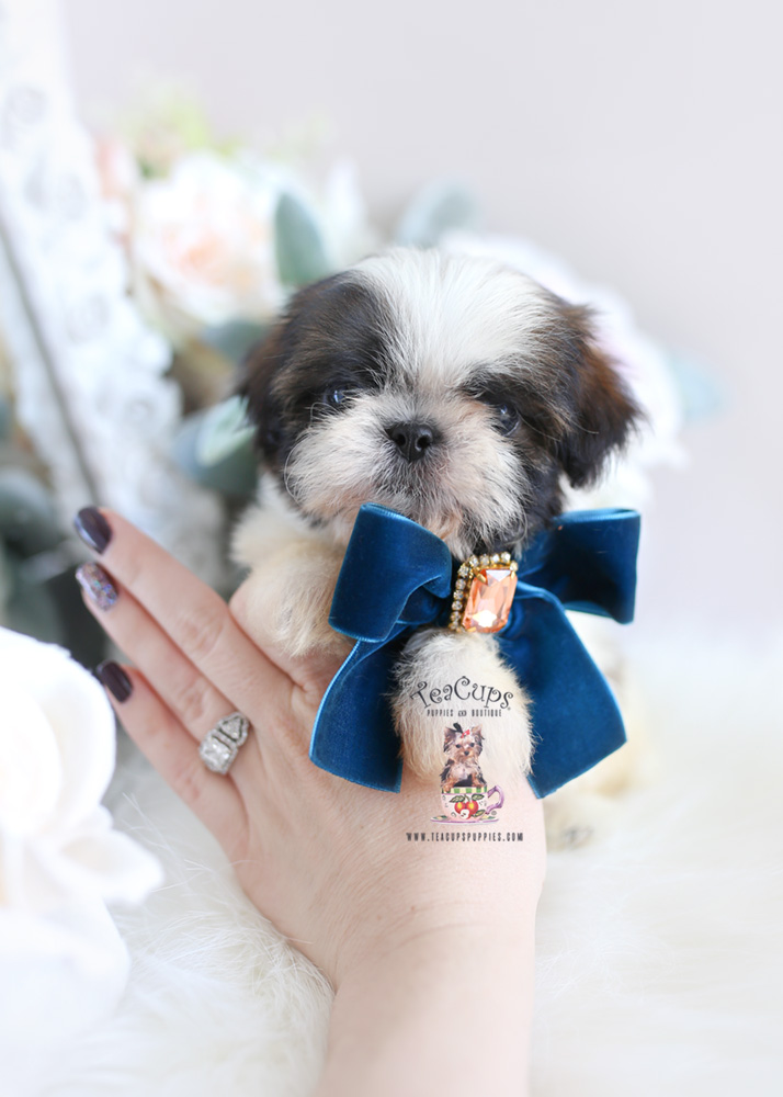 teacup shih tzu puppies for sale in ga cute little yorkie puppies south florida teacups 6255