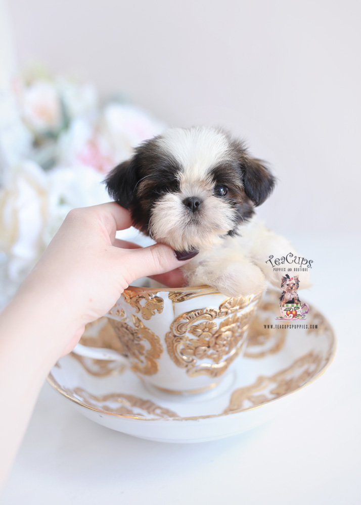 shih tzu adult dog