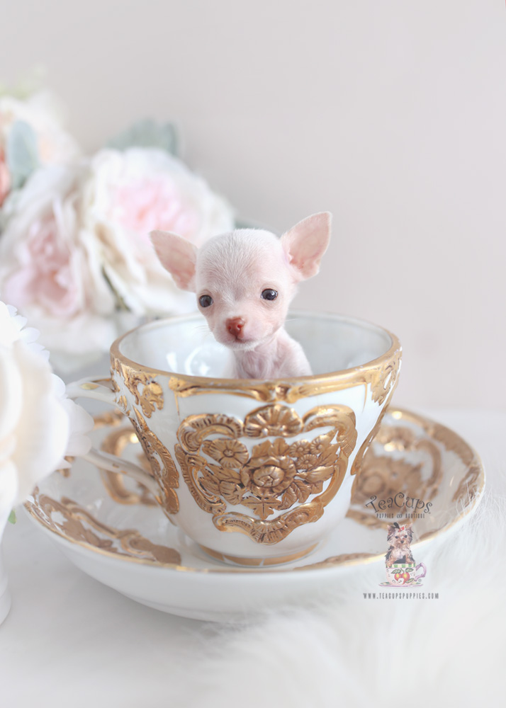 Teacup Chihuahua Breeders Fl Teacups Puppies Amp Boutique