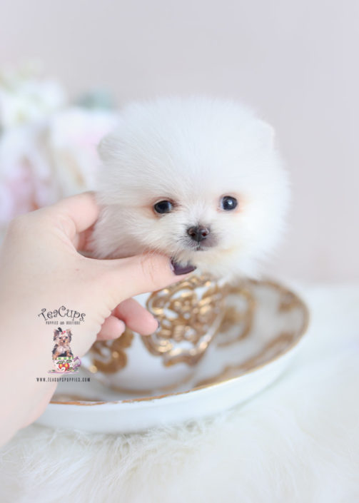 Teacup Pomeranian Breeder of South Florida