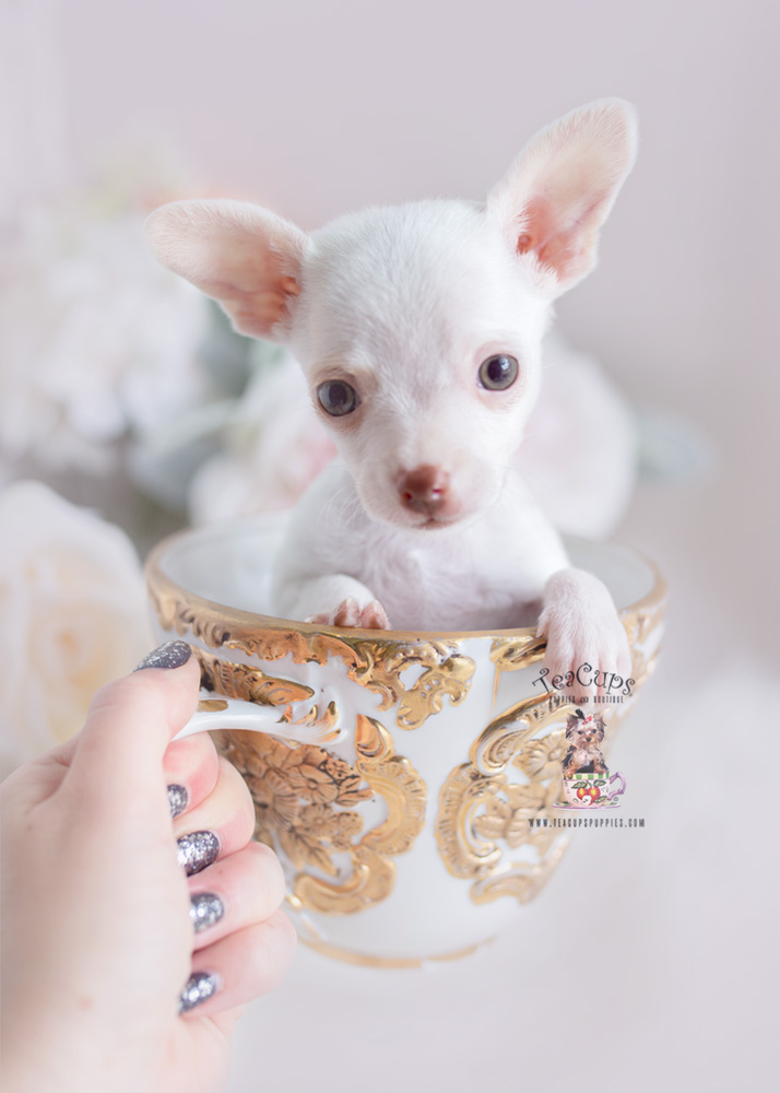 South Florida Chihuahuas | Teacups, Puppies & Boutique